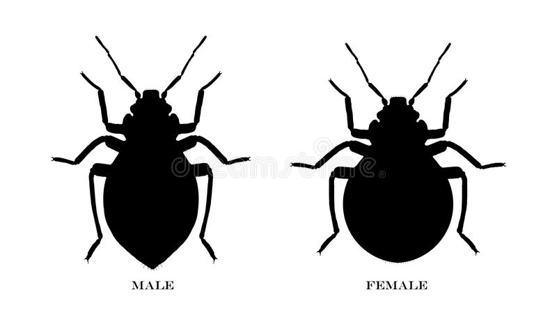 Download Male And Female Black Illustrated Bedbugs Stock Illustration - Illustration: 17462101