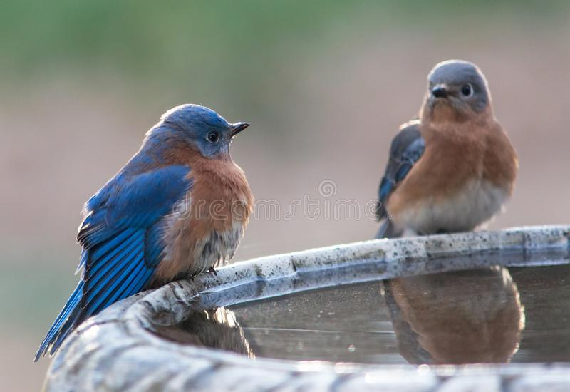 Male and Female Blue Birds stock images
