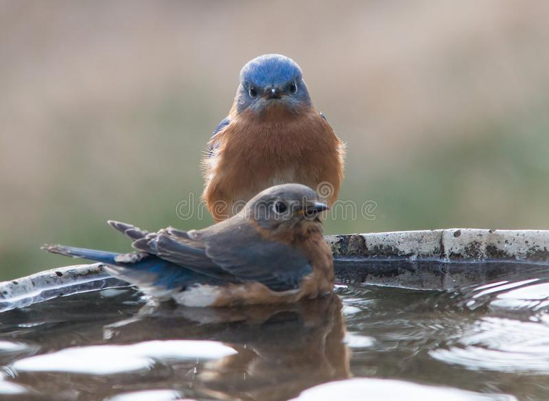 Male and Female Blue Birds royalty free stock photography