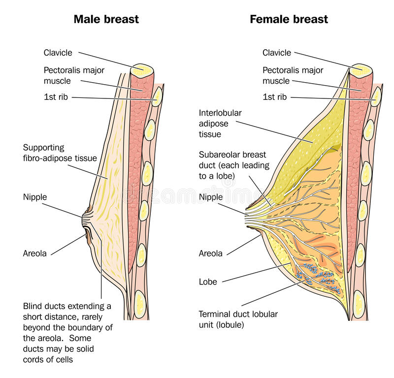 Male and female breast anatomy stock illustration