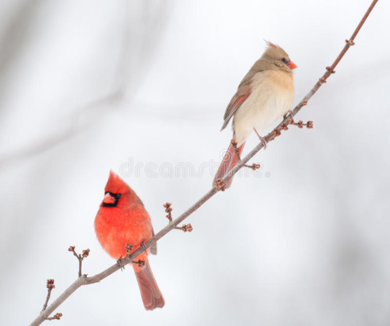 Male and female cardinal. Perched on branch in winter stock images