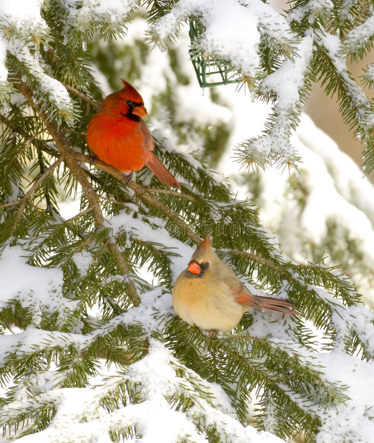 Download Male and female cardinal stock image. Image of birdwatching - 2097629