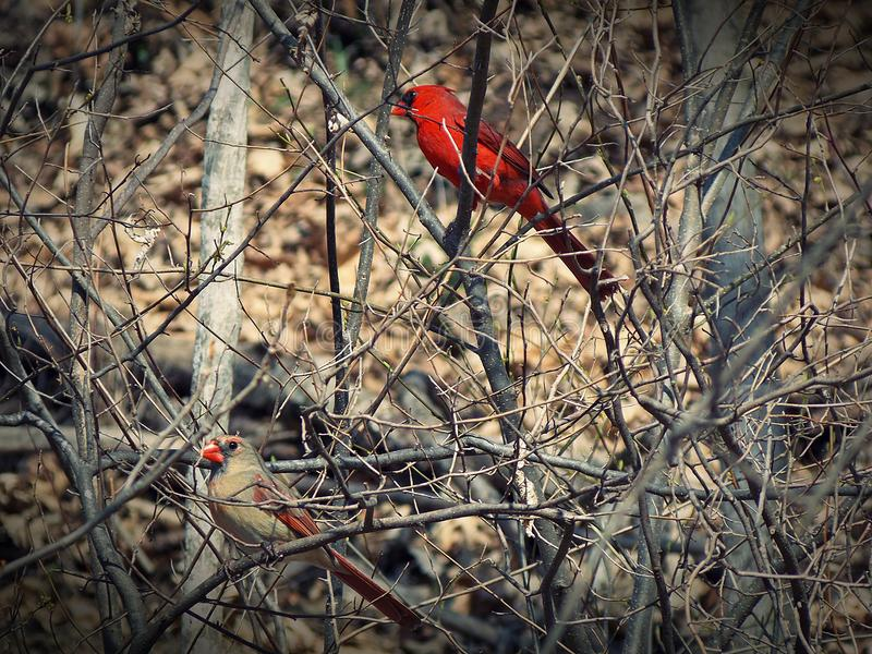 Male and Female Cardinal Late Autumn stock image