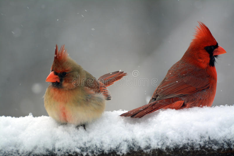 Male and Female Cardinal. Sitting in the snow royalty free stock photo
