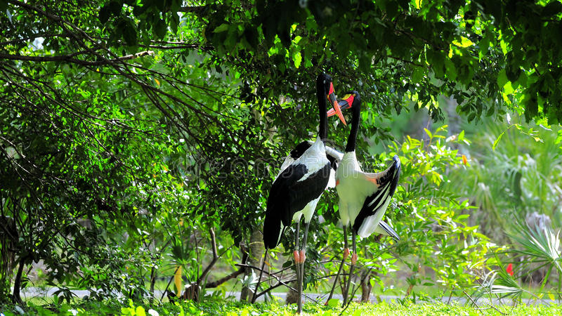 Male and Female Colorful Storks stock photography