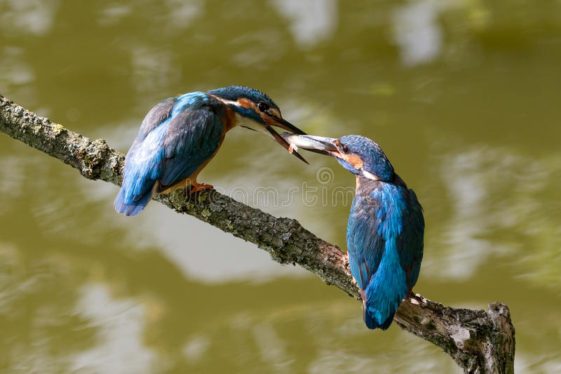 Male and female common kingfishers feeding each other. Mating common kingfishers on a branch feeding each other fish stock image