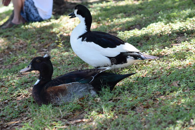 Male and Female Crested Ducks stock images