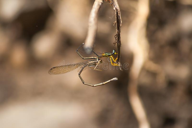 Damsel Flies mating on twig. Male and Female Damsel Fly mating on twig stock photos