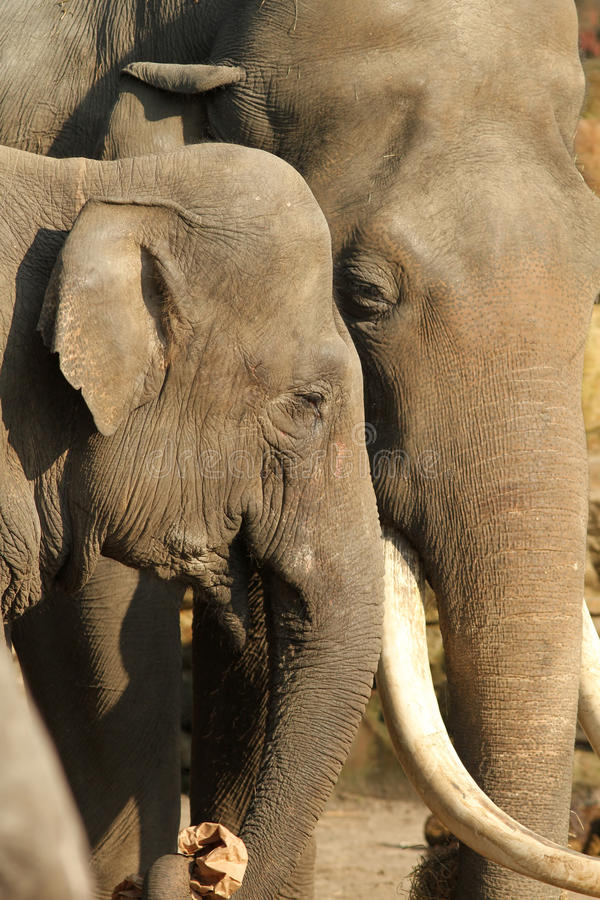Male and female elephants hugging royalty free stock images