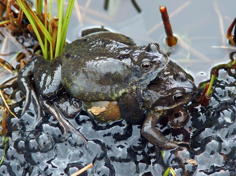 Frogs spawning in a Pond royalty free stock photo