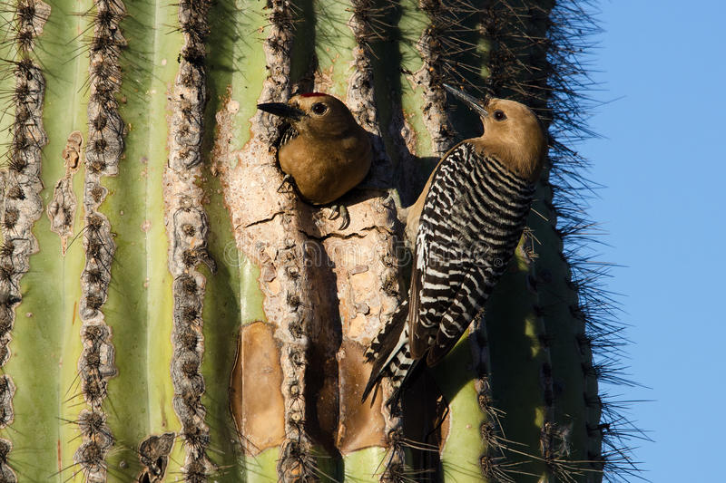 Male and Female Gila Woodpeckers. A Male and Female Gila Woodpecker nesting in a Saguaro cactus royalty free stock photos
