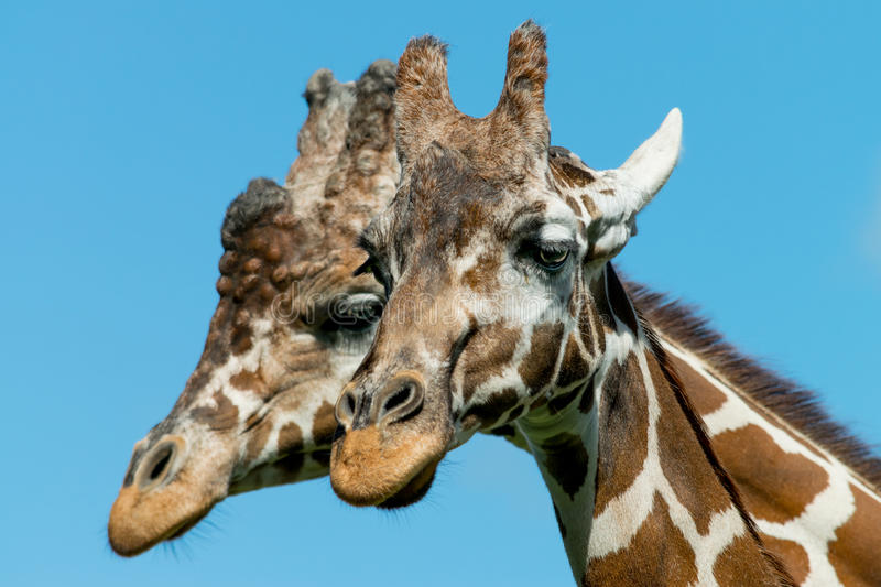 Male and Female Giraffes stock image