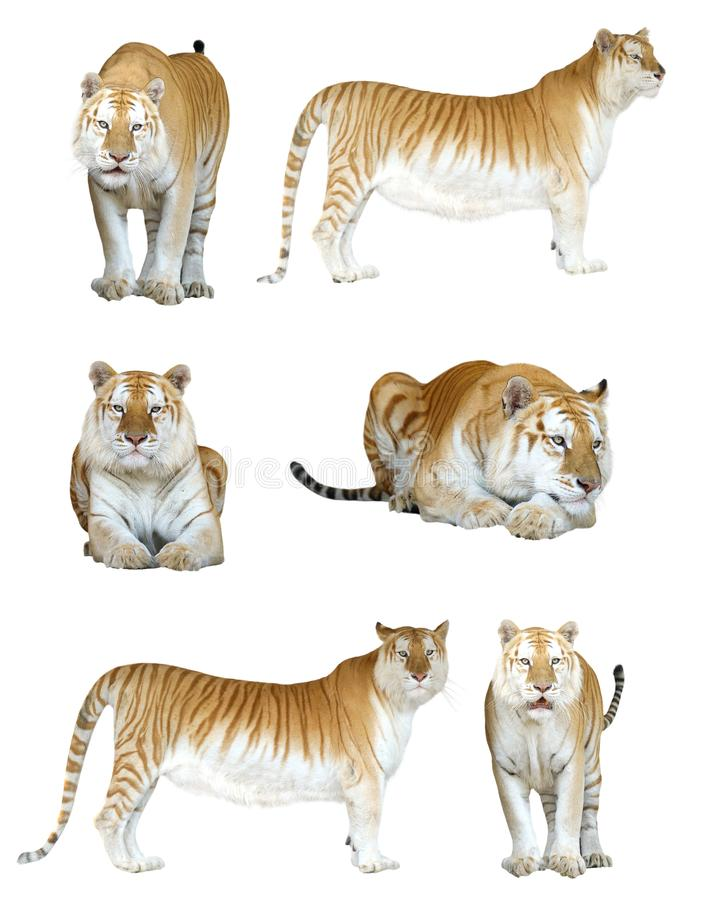Male and female golden tabby tiger isolated. On white background royalty free stock image