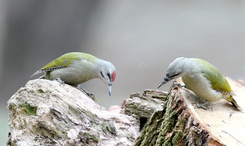 Male and female gray woodpecker together on one log. royalty free stock images