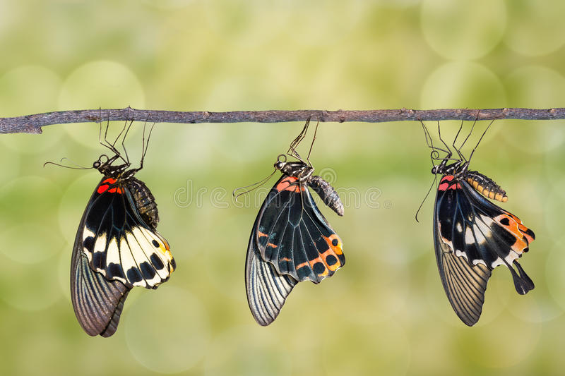 Male and female great mormon butterfly stock photo