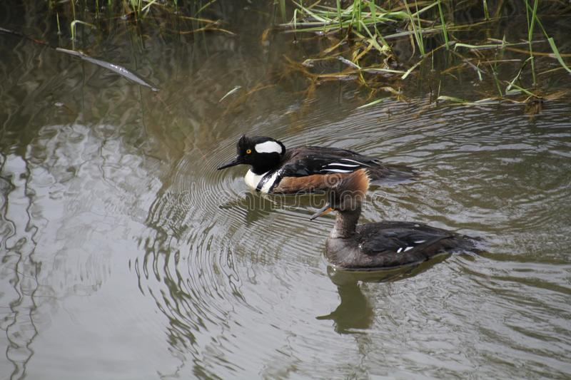 A male and female hooded merganser swimming in a stream royalty free stock photos