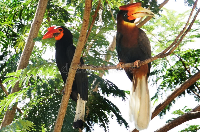 Male and female Hornbills royalty free stock photo