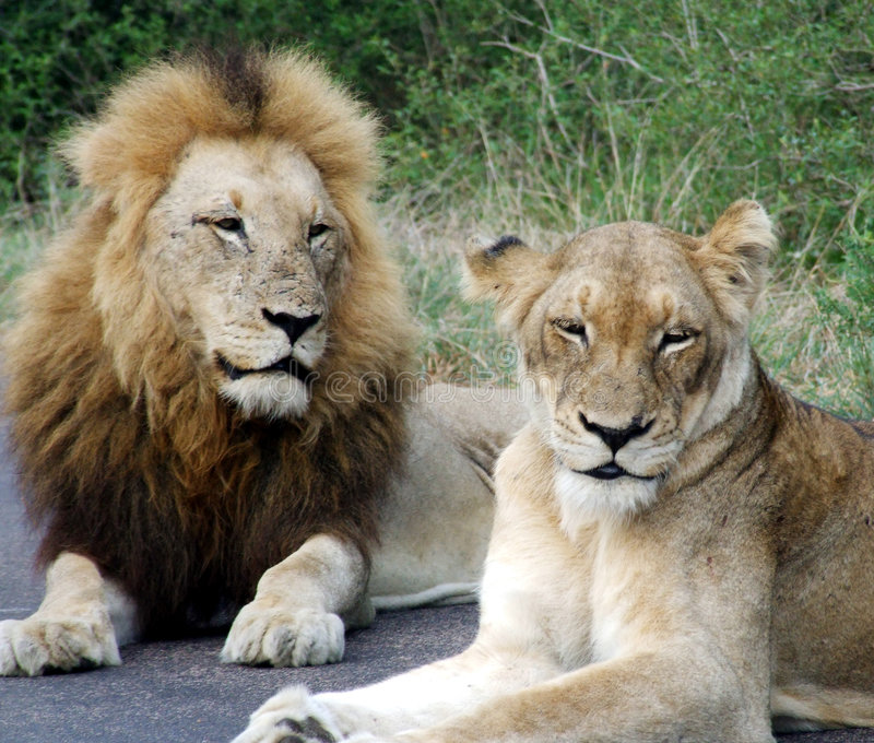 Male And Female Lion. At the Kruger National Park in South Africa stock photos