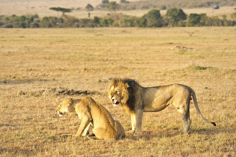 Download Male And Female Lion Stock Images - Image: 25742954