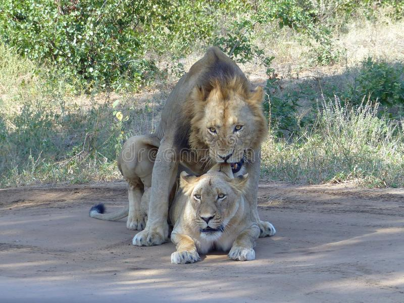 Mating lions couple while lion bites ear of lioness stock photos