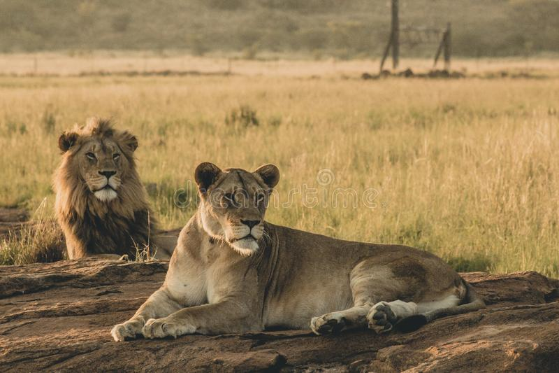 Male and female lions laying on the sand and resting stock photography