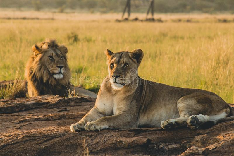 Male and female lions laying on the sand and resting royalty free stock photo