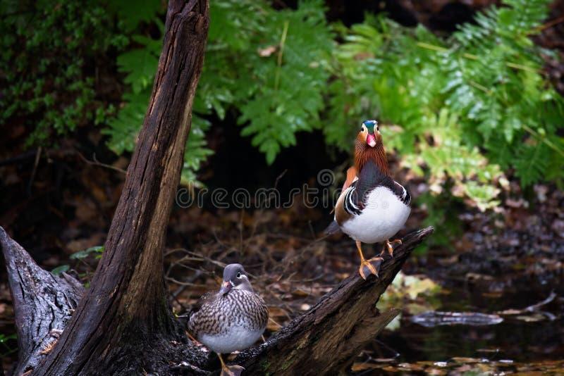 Male and female Mandarin duck stock photo