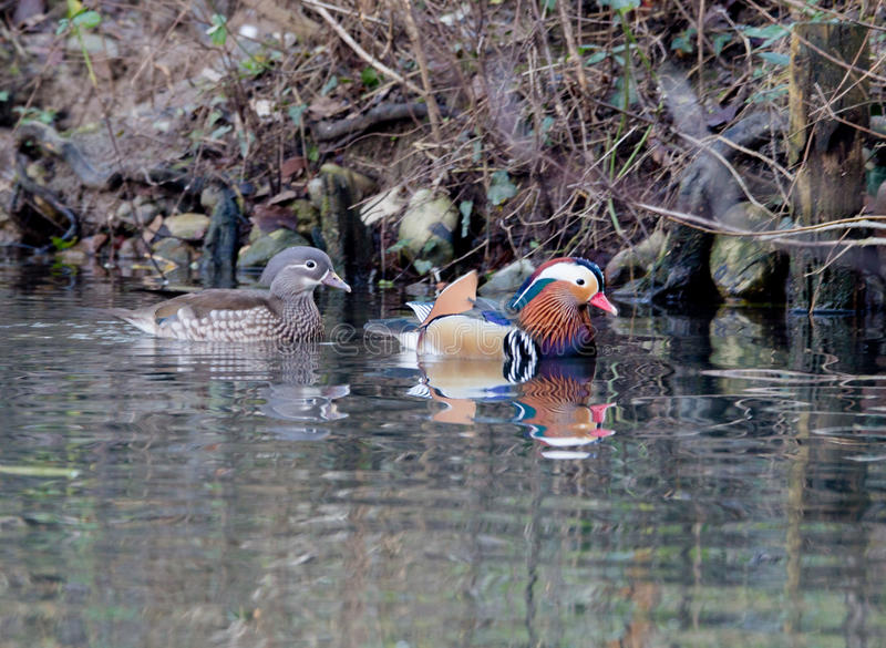 Male and female of Mandarin duck stock photos
