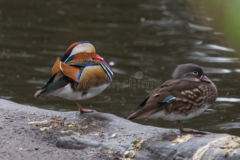 Download Male And Female Mandarin Ducks Resting On Leg At Waterside Stock Image