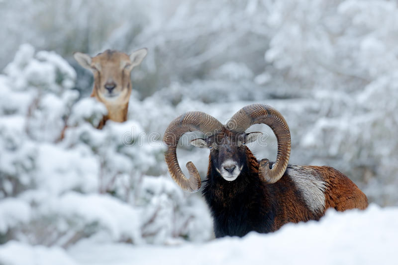 Male and female of Mouflon, Ovis orientalis, winter scene with snow in the forest, horned animal in the nature habitat. Portrait o stock photos