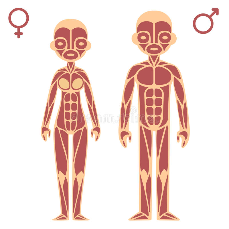 Male and female muscle chart vector illustration