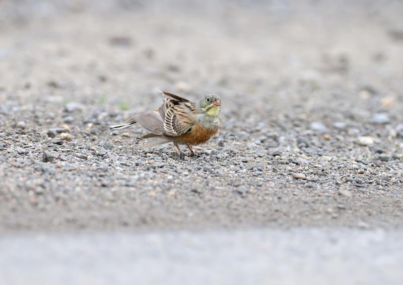 Male and female an ortolan bunting swimming in a puddle royalty free stock photography