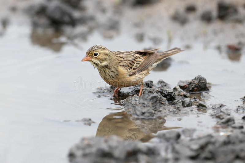 Male and female an ortolan bunting swimming in a puddle royalty free stock image