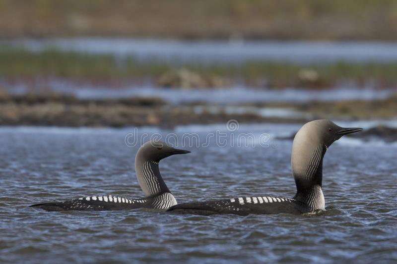 Male and female Pacific Loon or Pacific Diver Gavia pacifica in breeding plumage swimming in arctic waters. Near Arviat Nunavut, Canada stock photo