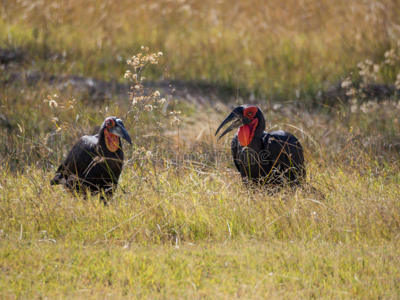 Male and female pair of African southern ground hornbill feeding in high grass, Moremi NP, Botswana. Male and female pair of African southern ground hornbill stock photo