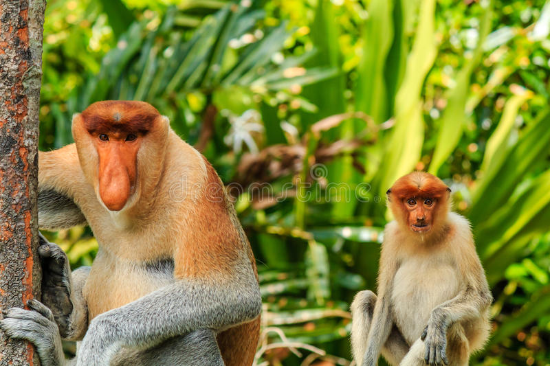 Download Male And Female Proboscis Monkeys In The Mangroves Stock Photo - Image: 41156674