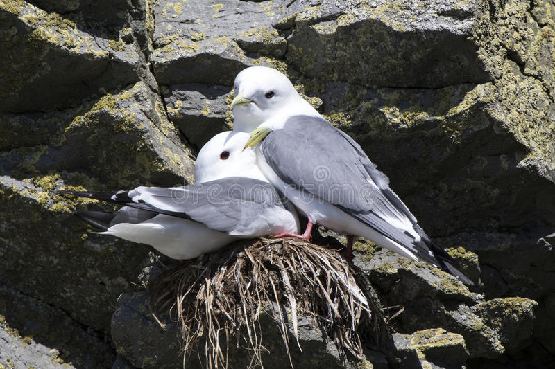Male and female red-legged kittiwakei who sit on a nest in a col royalty free stock photography