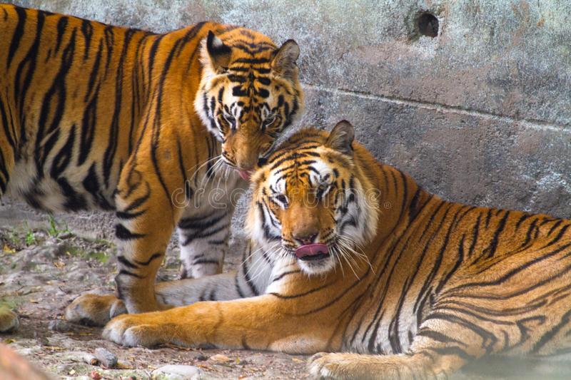Male and Female Royal Bengal Tigers stock photography