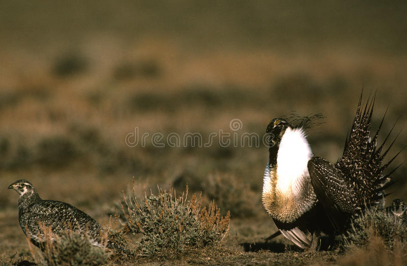 Download Male And Female Sage Grouse Royalty Free Stock Image - Image: 10432946