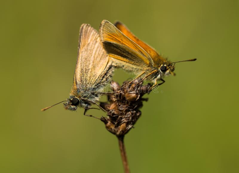 Male and Female Small Skipper Butterflies Mating 2 stock photo