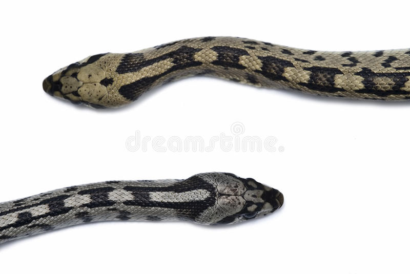 Male and female snakes. royalty free stock images