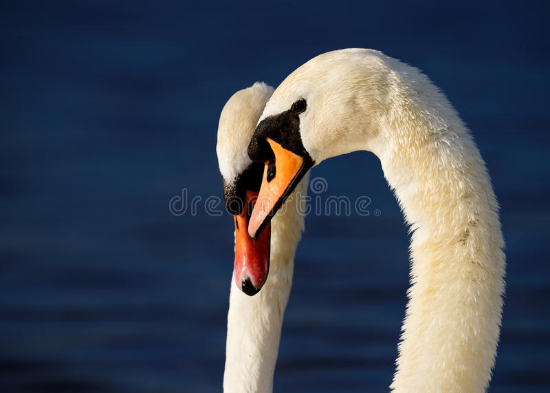 Male and Female Swans on Deep Blue Backgound royalty free stock images