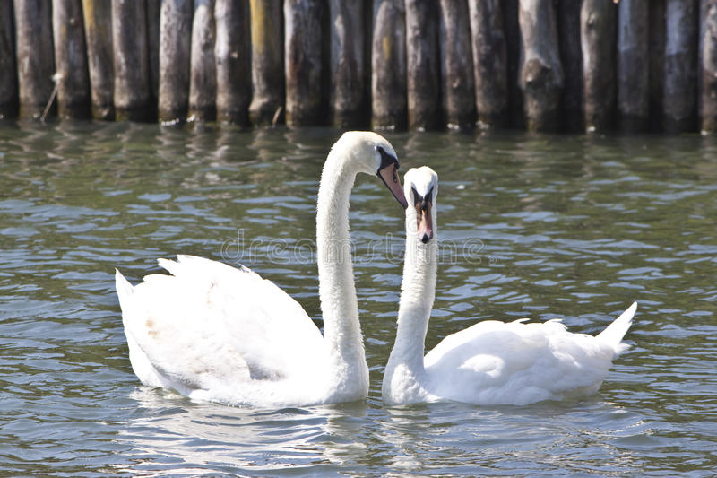 Male and female swans on a lake stock image