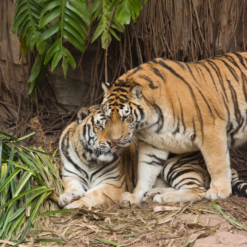 Male and female tiger. In a romantic pose , in love moment royalty free stock photos
