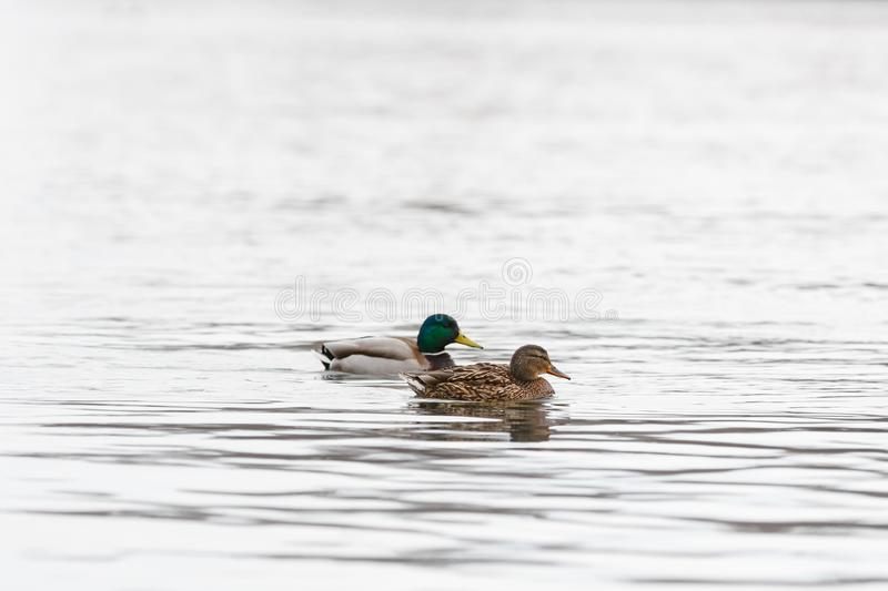 Male and female on the water of the river in early spring. Mallard during migration.  stock photo
