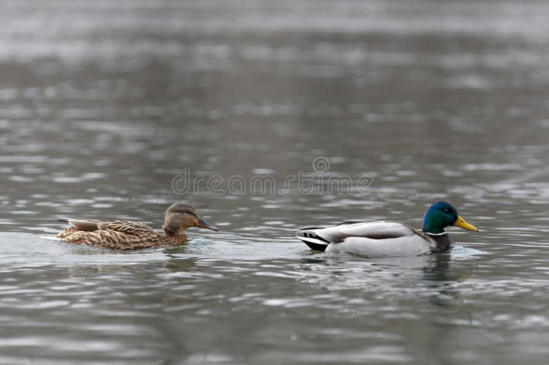Male and female on the water of the river in early spring. Mallard during migration.  royalty free stock photo