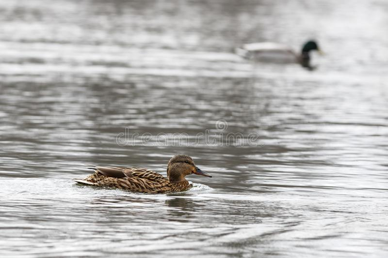 Male and female on the water of the river in early spring. Mallard during migration.  royalty free stock image