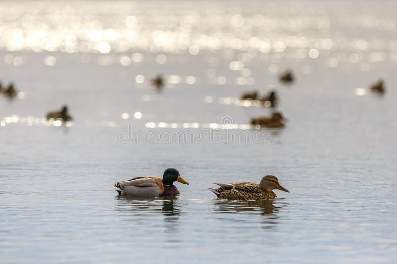 Male and female on the water of the river in early spring. Mallard during migration.  royalty free stock images