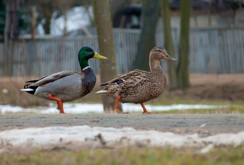 Male and female wild mallards walk together down a street on public road royalty free stock photos