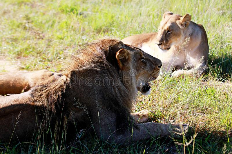 A male and female 2 year old lions rest around a park in Zimbabwe royalty free stock photography